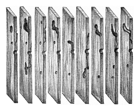 larvae: Radial sections of pine wood, showing the path of Hylesinus minor larvae galleries and the puppe chamber, vintage engraved illustration.