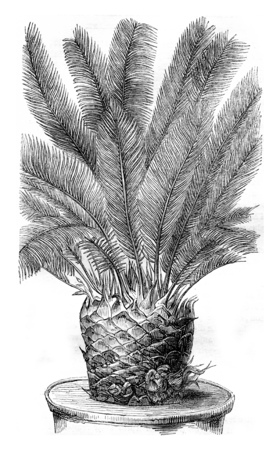cycadaceae: Cycas revoluta, with buds between the leaf axils, vintage engraved illustration. Magasin Pittoresque 1844. Stock Photo