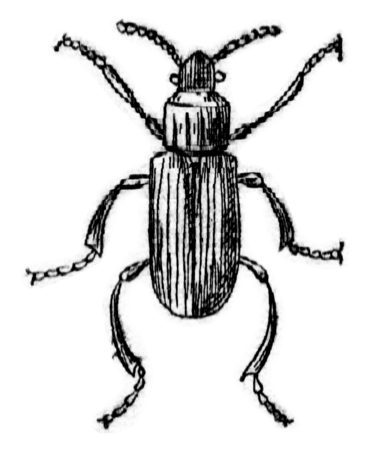 Lyctus canaliculatus, vintage engraved illustration.