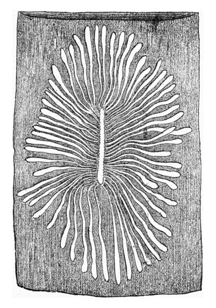larval: Scolytus multistriatus, egg gallery and larval galleries in the sapwood of elm, vintage engraved illustration.