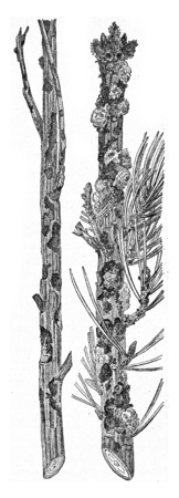 hylobius: Larch and pine strongly attacks the last Abiet Hylobius present a strong flow Whitewood, vintage engraved illustration. Stock Photo