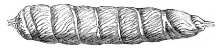 Intestine of a dogfish, injected with Roman cement, vintage engraved illustration. Magasin Pittoresque 1844. Stok Fotoğraf