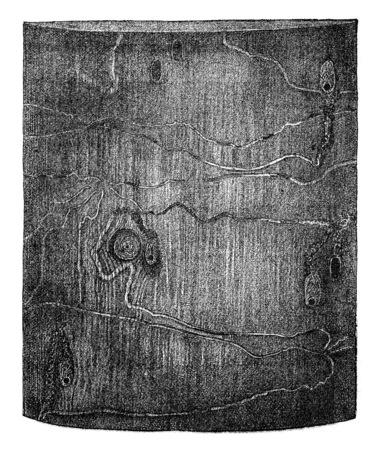 larvae: Pissodes harcyniae larvae galleries and cradles puppessur spruce, vintage engraved illustration. Stock Photo