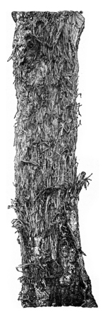 produced: Result produced by bites of Picus major, on the surface of an oak trunk, vintage engraved illustration.