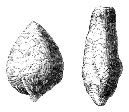 paleontology: Was found coprolites in chalk, and from the poison called Inleido Copri, vintage engraved illustration. Magasin Pittoresque 1844.