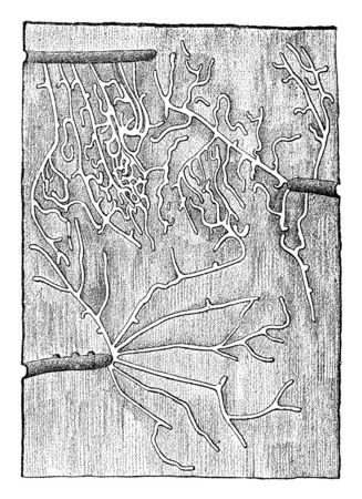 larval: Larval galleries Tomicus pusillus, under the bark of pine, vintage engraved illustration. Stock Photo