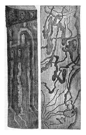 larvae: Pissodes pini larvae galleries and doll cradles a left on the trunk itself, right, has the right, on the inner side of the bark, vintage engraved illustration. Stock Photo