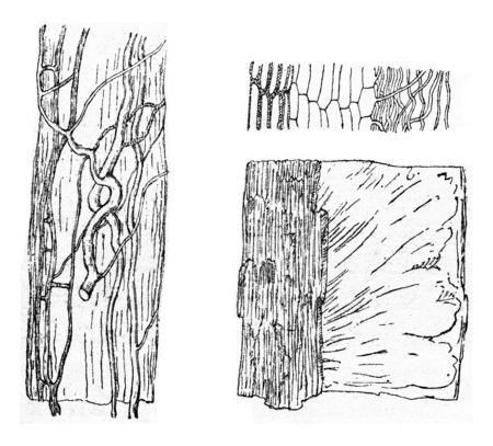 basidiomycete: Agaricus melleus, vintage engraved illustration.