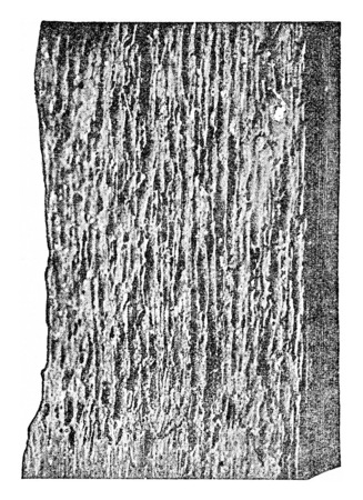softwood: Softwood plagued by limnora, vintage engraved illustration.