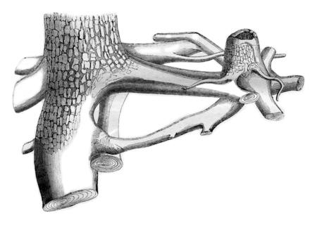 raices de plantas: Raíces de un abeto blanco que vive Entre injertado con las de una cepa B del árbol talado, cosecha ilustración grabada. Magasin Pittoresque 1844.