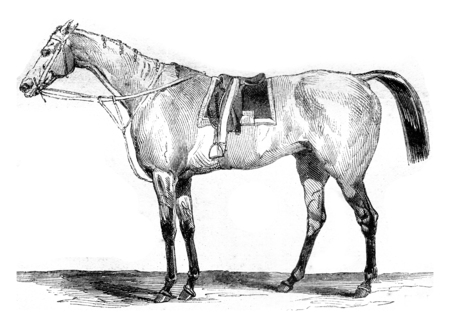 blooded: Thoroughbred racehorse, vintage engraved illustration. Magasin Pittoresque 1845. Stock Photo
