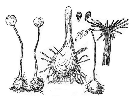 spores: Fruiting device (perithecium) of the fungus, vintage engraved illustration. Stock Photo