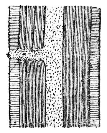 dormant: Schematic longitudinal section showing a dormant bud, vintage engraved illustration. Stock Photo