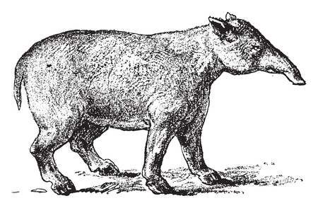 Grand Palaeotherium, vintage engraved illustration. From Natural Creation and Living Beings. Иллюстрация