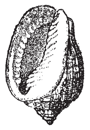 Cassis cancellata, vintage engraved illustration. From Natural Creation and Living Beings.