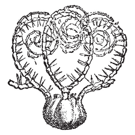 Saccocoma pectinata, vintage engraved illustration. From Natural Creation and Living Beings.