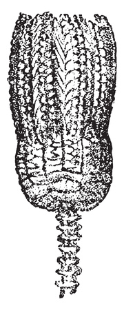 Encrinus lilliformis, vintage engraved illustration. From Natural Creation and Living Beings. Illustration