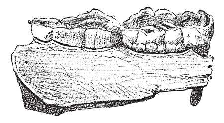 Fragment of jaw of the great Bear, with two molars, vintage engraved illustration. From Natural Creation and Living Beings. Vectores