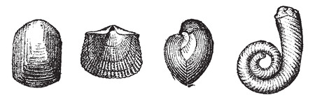 Molluscs acephales, vintage engraved illustration. From Natural Creation and Living Beings.