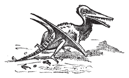 Rhamphorhynchus restored from lias and oolite, vintage engraved illustration. From Natural Creation and Living Beings.
