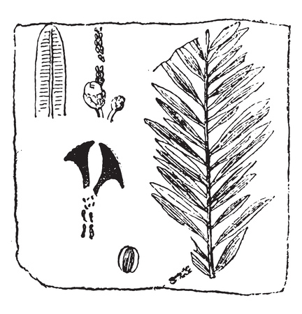 Sequoia Langsdorfii, vintage engraved illustration. From Natural Creation and Living Beings.