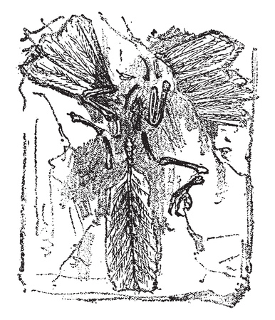 Fossil remains of a bird, Archaeopteryx lithographica of lithographic limestone of Solehofen, vintage engraved illustration. From Natural Creation and Living Beings. Banco de Imagens - 107851051
