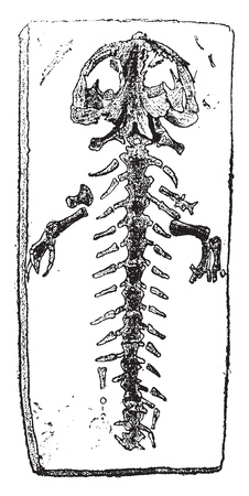 Fossil skeleton of a gigantic Salamander, vintage engraved illustration. From Natural Creation and Living Beings.