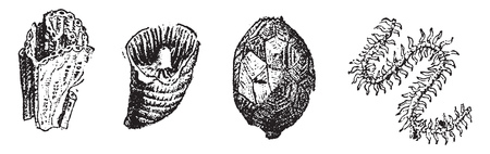 Molluscs, vintage engraved illustration. From Natural Creation and Living Beings. Illusztráció