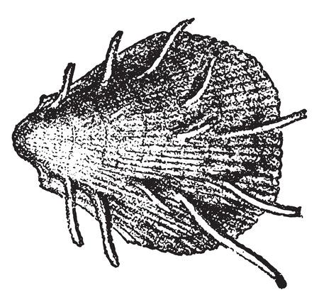 Spondylus spinosus, vintage engraved illustration. From Natural Creation and Living Beings. Standard-Bild - 107851355