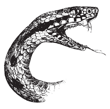 Head of the viper, showing the bifurcated tongue, small palatal teeth, vintage engraved illustration. Magasin Pittoresque 1844.