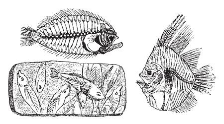 Fossiel skelet van een tarbot, fossiel skelet van Platax altissimus, Hemi Rhynchus van de Puteaux-kalksteen, vintage gegraveerde illustratie. Van natuurlijke schepping en levende wezens.