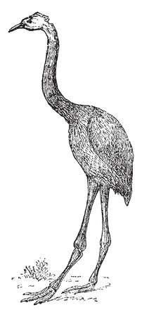 Dinornis of New Zealand, vintage engraved illustration. From Natural Creation and Living Beings.
