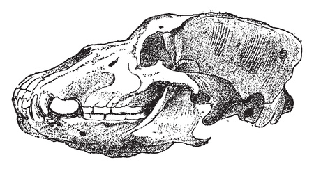 Fossil Head of Cave Bears, vintage engraved illustration. From Natural Creation and Living Beings. Иллюстрация