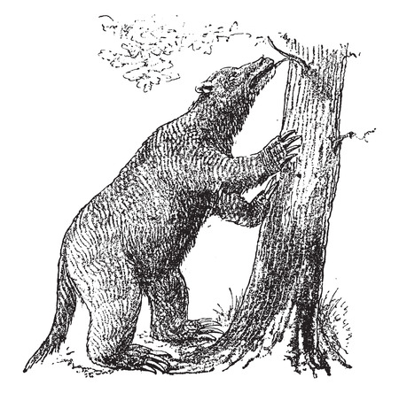 Robust Mylodon, vintage engraved illustration. From Natural Creation and Living Beings. Иллюстрация