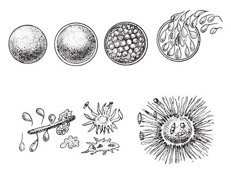 Evolution of animal Monera, the orange Monere, vintage engraved illustration. From Natural Creation and Living Beings.
