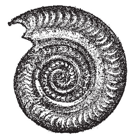 Ammonites bifrons, vintage engraved illustration. From Natural Creation and Living Beings. Иллюстрация