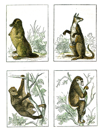 Ornithorynque paradoxical, Kangaroo Giant, Galeopitheque of the Philippines, Indri has short tail, vintage engraved illustration. From Natural Creation and Living Beings.