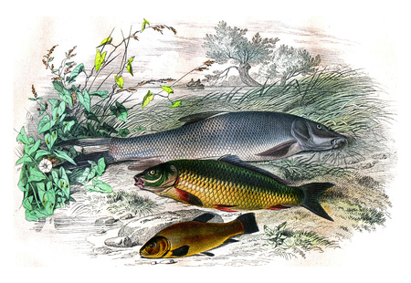 The barbillon, The carp, the tench, vintage engraved illustration. Natural History from Lacepede
