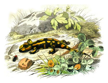 The terrestrial salamander, vintage engraved illustration. Natural History from Lacepede. Standard-Bild - 107852136