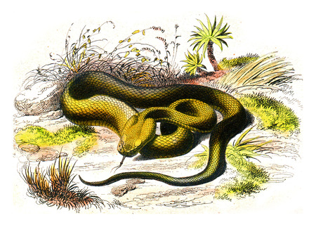 The viper spearhead, vintage engraved illustration. Natural History from Lacepede. Stock Photo