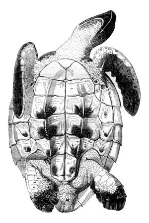Testudo imbricata, Caret seen from below, vintage engraved illustration. Magasin Pittoresque 1844. Stok Fotoğraf