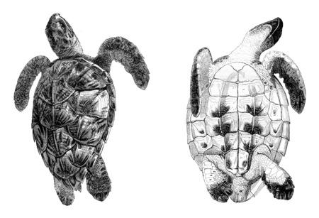 Testudo imbricata, Caret seen over, Caret seen from below, vintage engraved illustration. Magasin Pittoresque 1844. Imagens