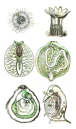 Comparative organization of invertebrate animals currently alive or represented in the primitive period by many species Standard-Bild - 107853043