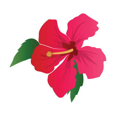 Vector illustration of dark pink hibiscus flower with green leafs on white background. Illustration