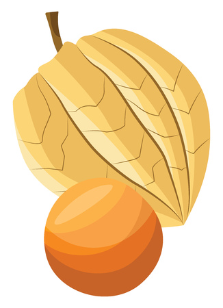 Vector illustration of a physalis fruit on white background.