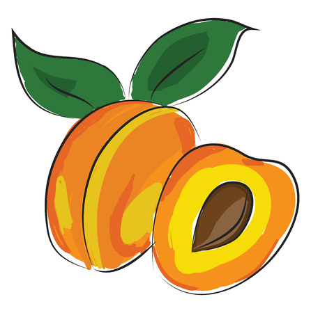 A whole apricot with two green leaves, vector, color drawing or illustration.