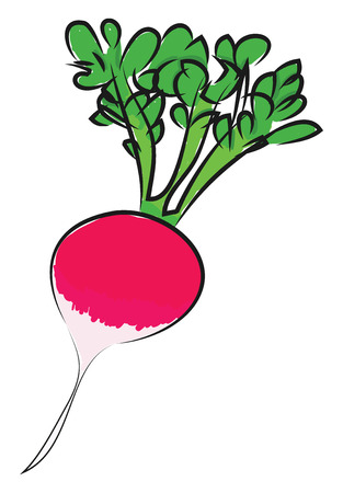 A pink colored radish with green leaves, vector, color drawing or illustration.