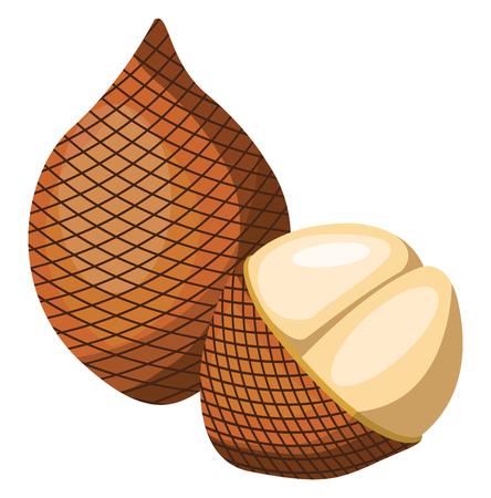 Vector illustration of brown salak fruit half a salak pealed  white background.