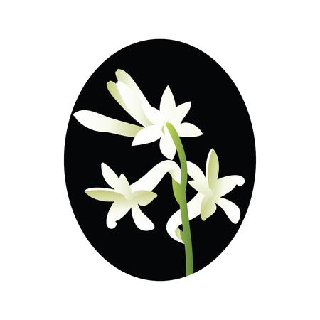Vector illustration of white tuberose flower in blsck circle on white background. Ilustrace