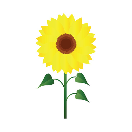 Vector illustration of sunflower with green leafs on white background.
